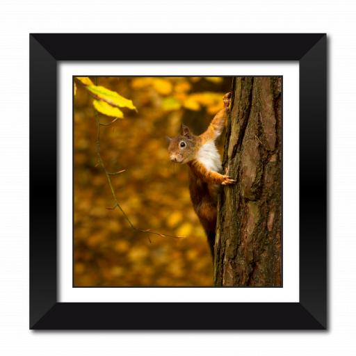 Red Squirrel with a nut Framed Print