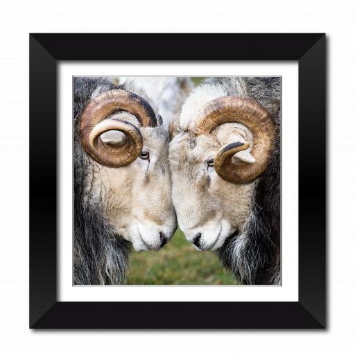 Rams Framed Print
