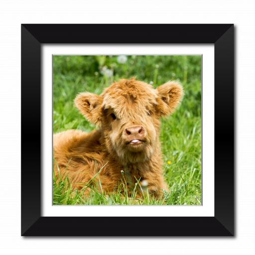 Cheeky Baby Cow Framed Print